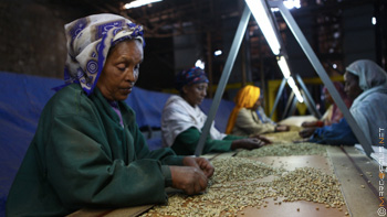 Addis Exporter coffee processing