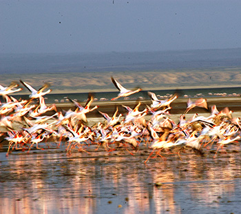 Flamingos at Lake Abijata