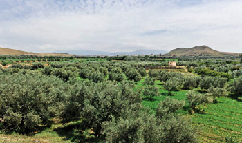 Olive Trees Agro Industry in Oriental